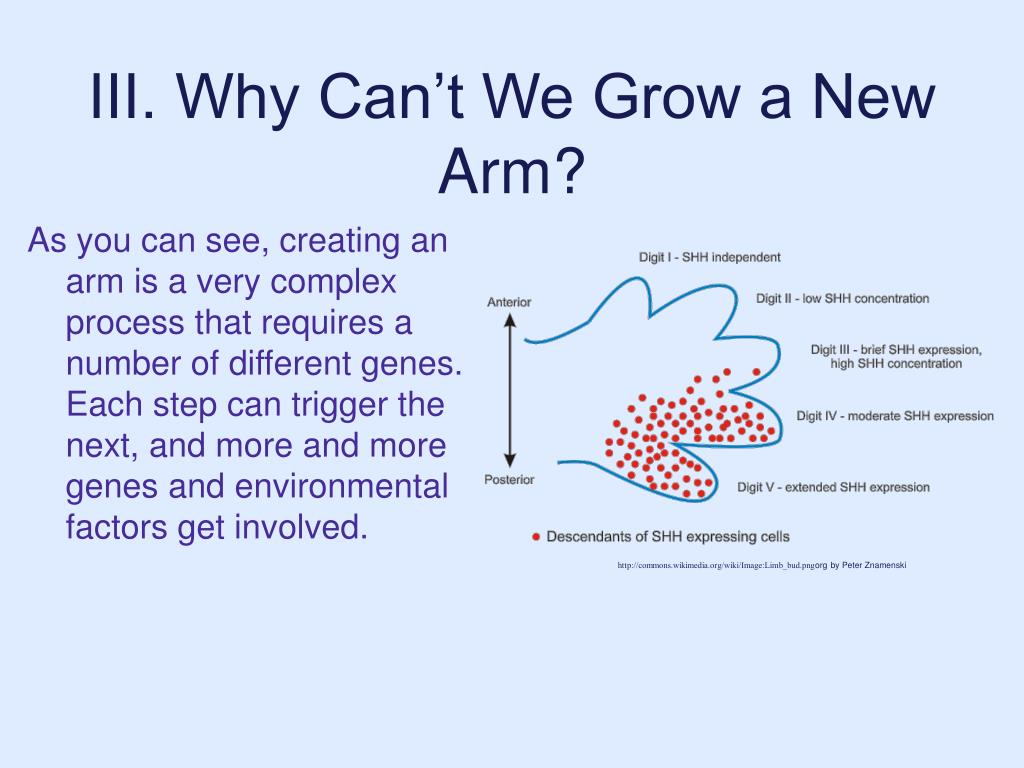 III. Why Can't We Grow a New Arm?