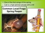 common local frogs spring peeper