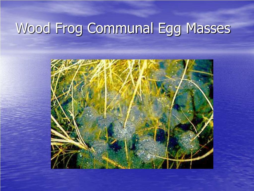 Wood Frog Communal Egg Masses