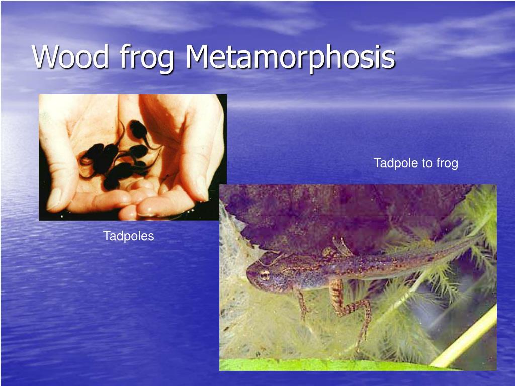 Wood frog Metamorphosis