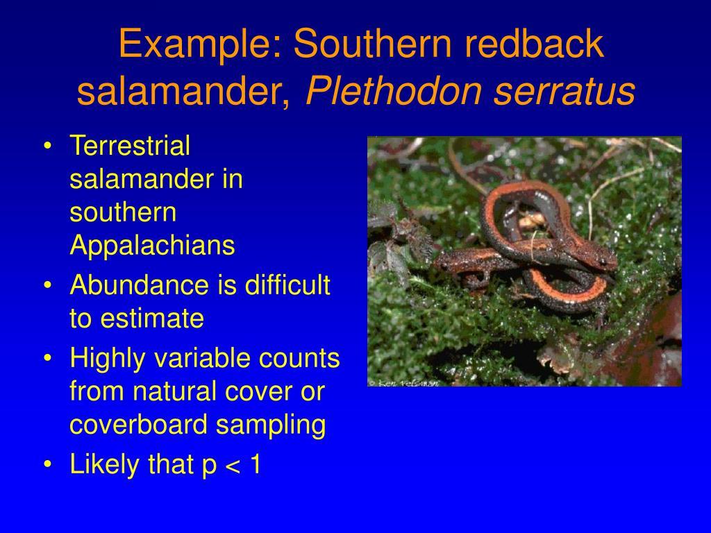 example southern redback salamander plethodon serratus l.