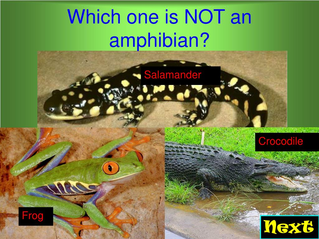Which one is NOT an amphibian?
