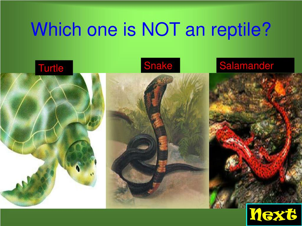 Which one is NOT an reptile?