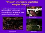 typical or primitive amphibian complex life cycle