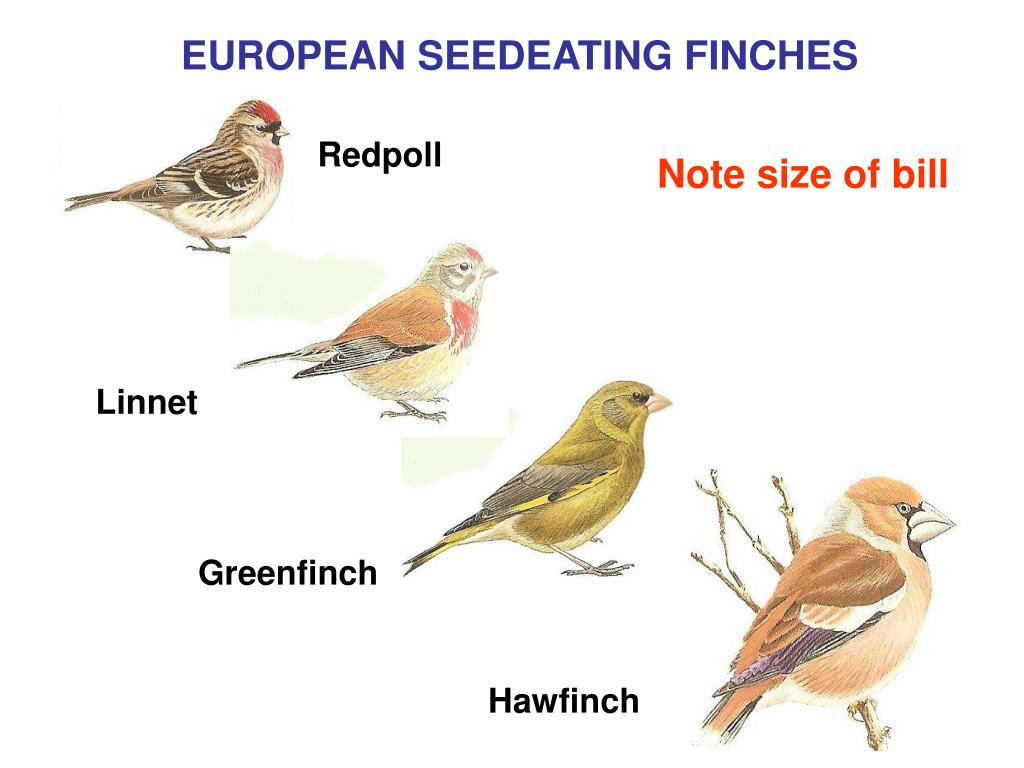 EUROPEAN SEEDEATING FINCHES