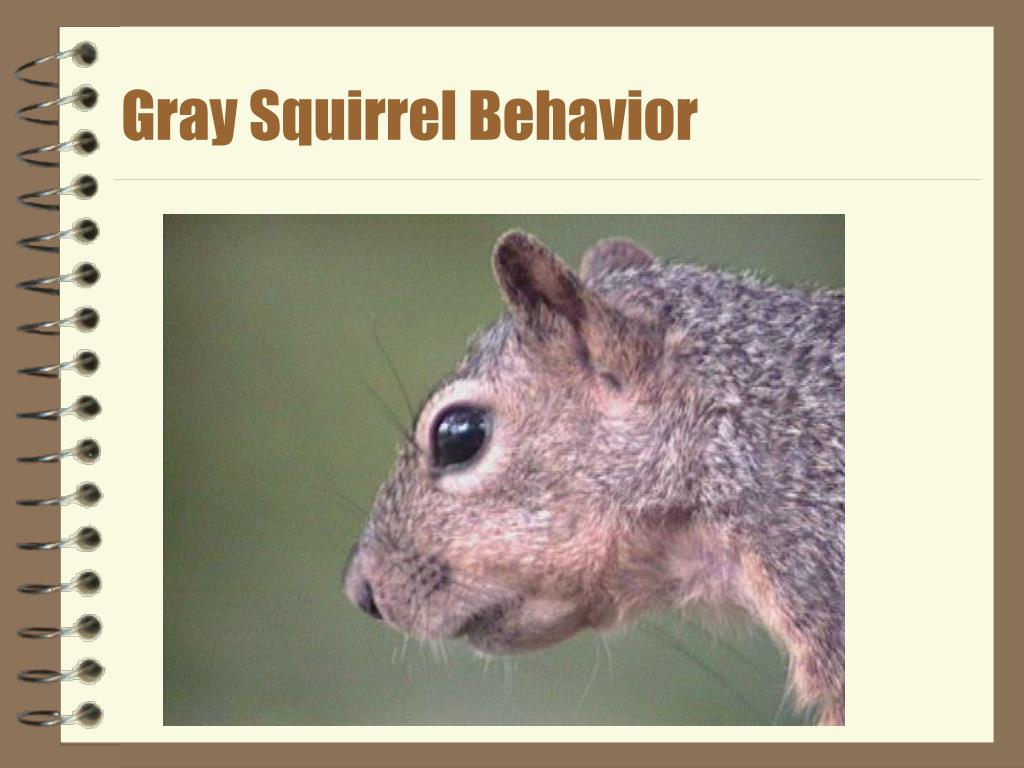 gray squirrel behavior l.