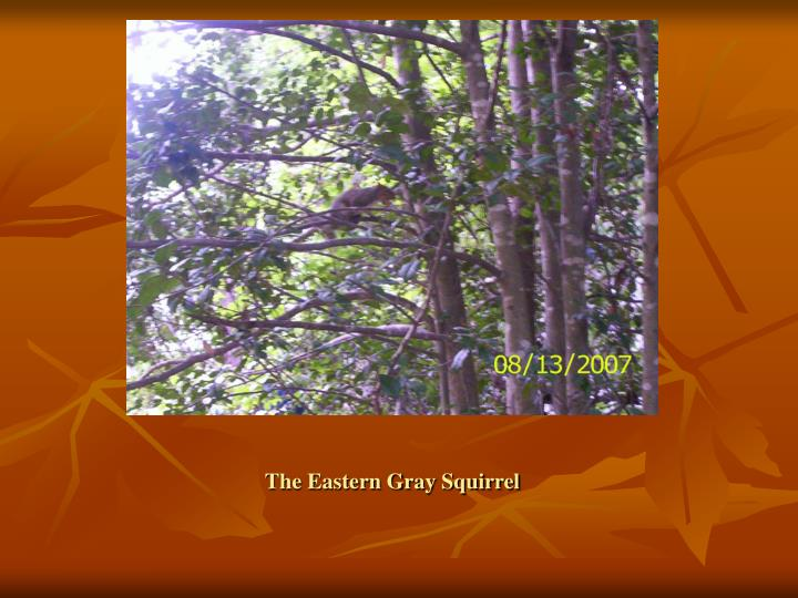 The eastern gray squirrel3
