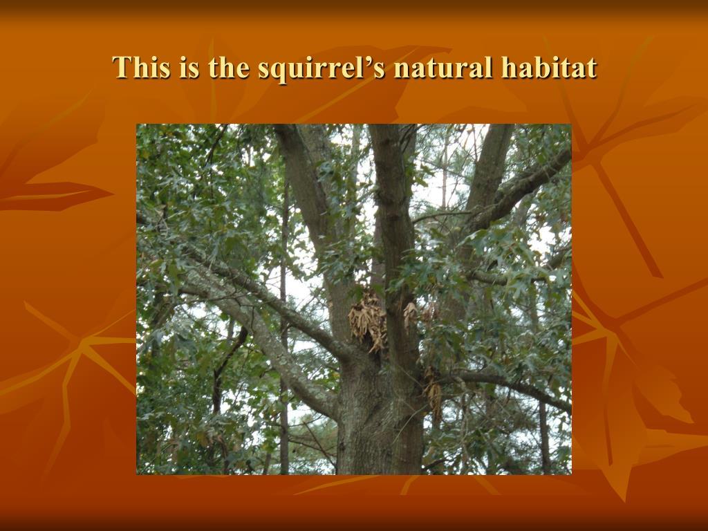 This is the squirrel's natural habitat