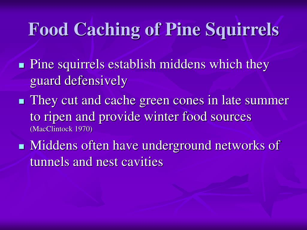 Food Caching of Pine Squirrels
