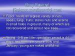 gray squirrel sciurus carolinensis cont