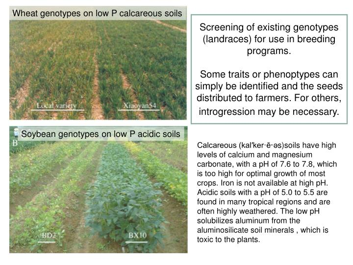 Wheat genotypes on low P calcareous soils