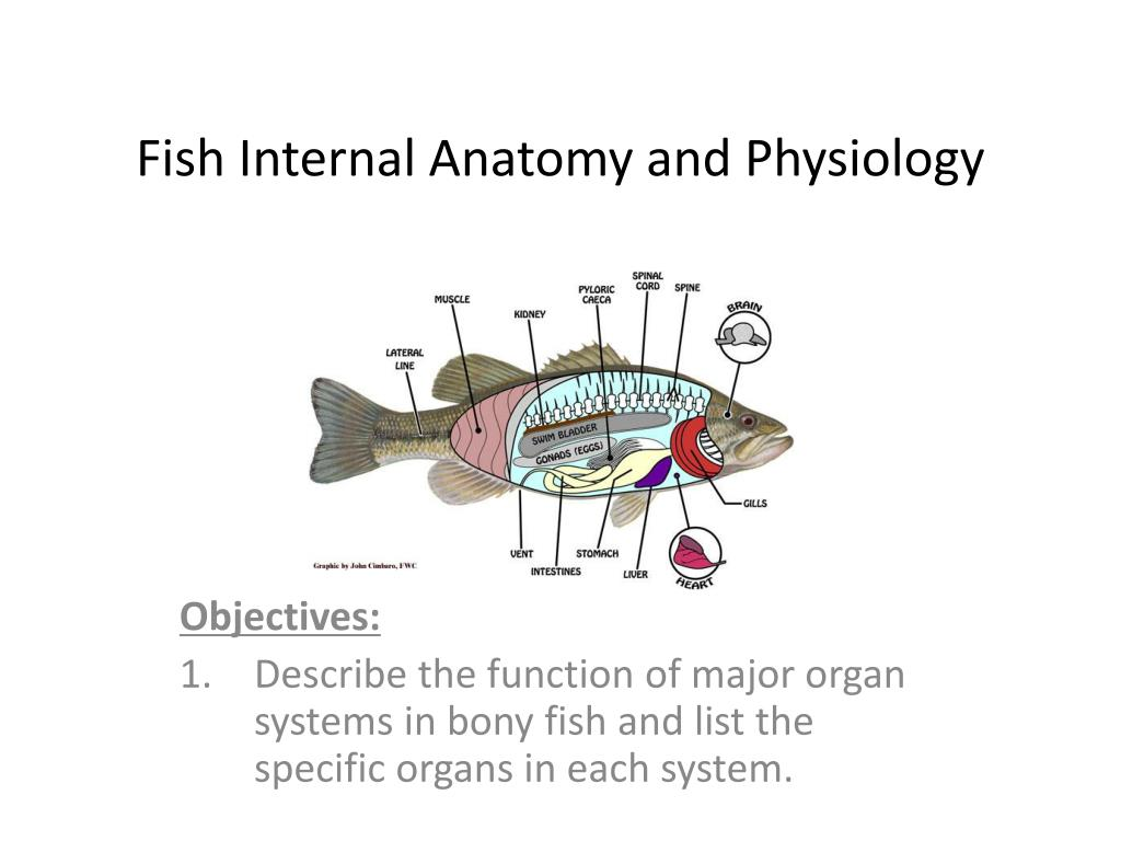 Ppt Fish Internal Anatomy And Physiology Powerpoint Presentation