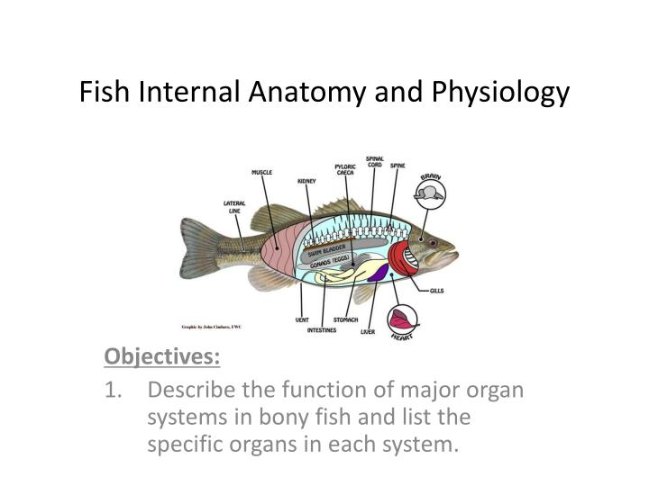 PPT - Fish Internal Anatomy and Physiology PowerPoint Presentation ...