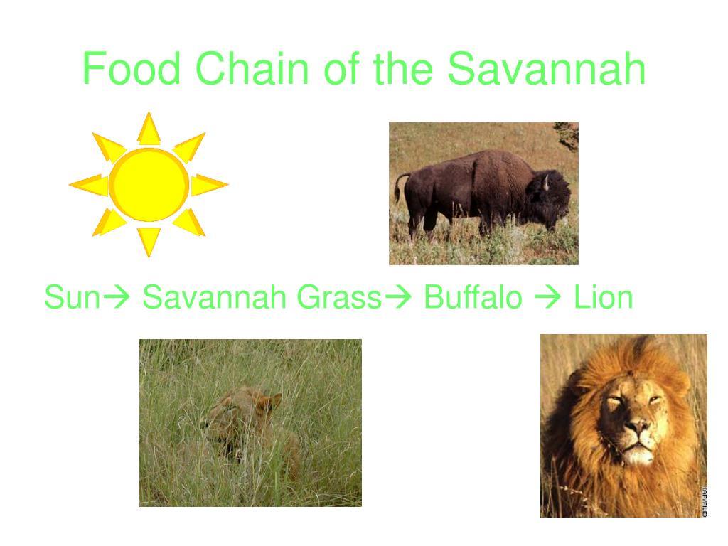 Food Chain of the Savannah