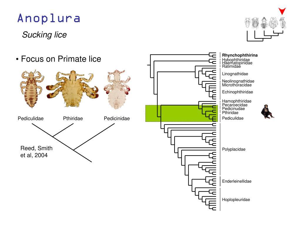Pediculidae