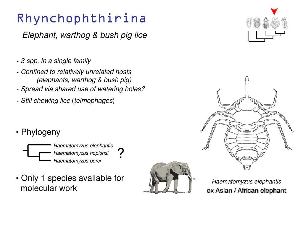 Haematomyzus elephantis