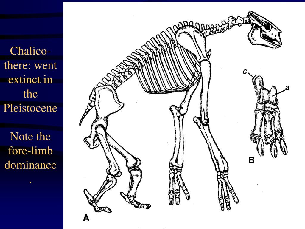 Chalico-there: went extinct in the Pleistocene