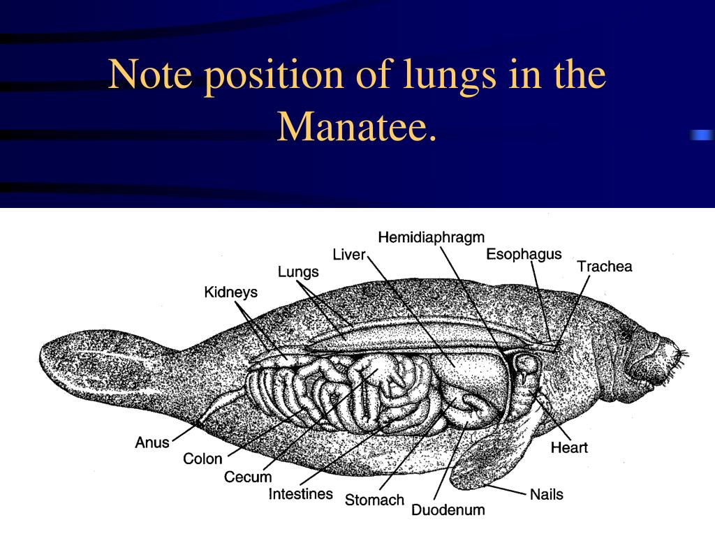 Note position of lungs in the Manatee.