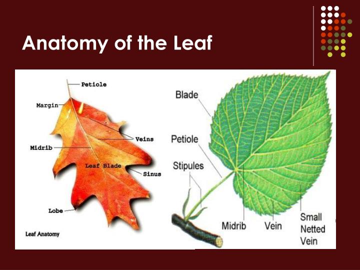 Ppt Parts Of The Plant Powerpoint Presentation Id988681