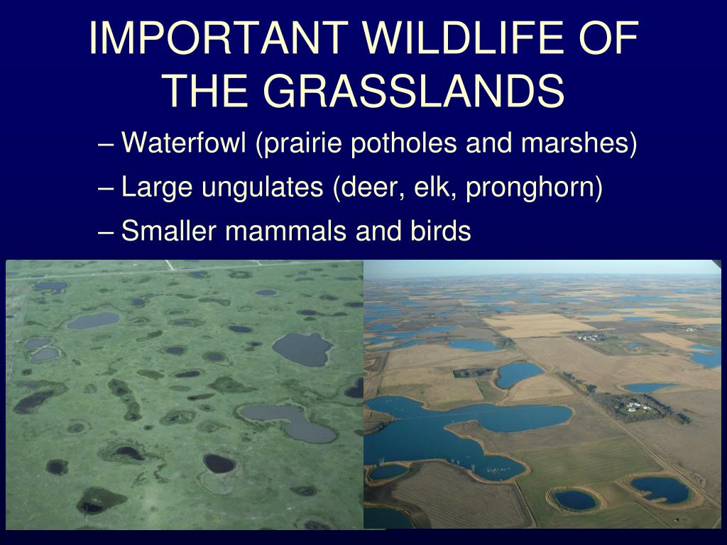 IMPORTANT WILDLIFE OF THE GRASSLANDS