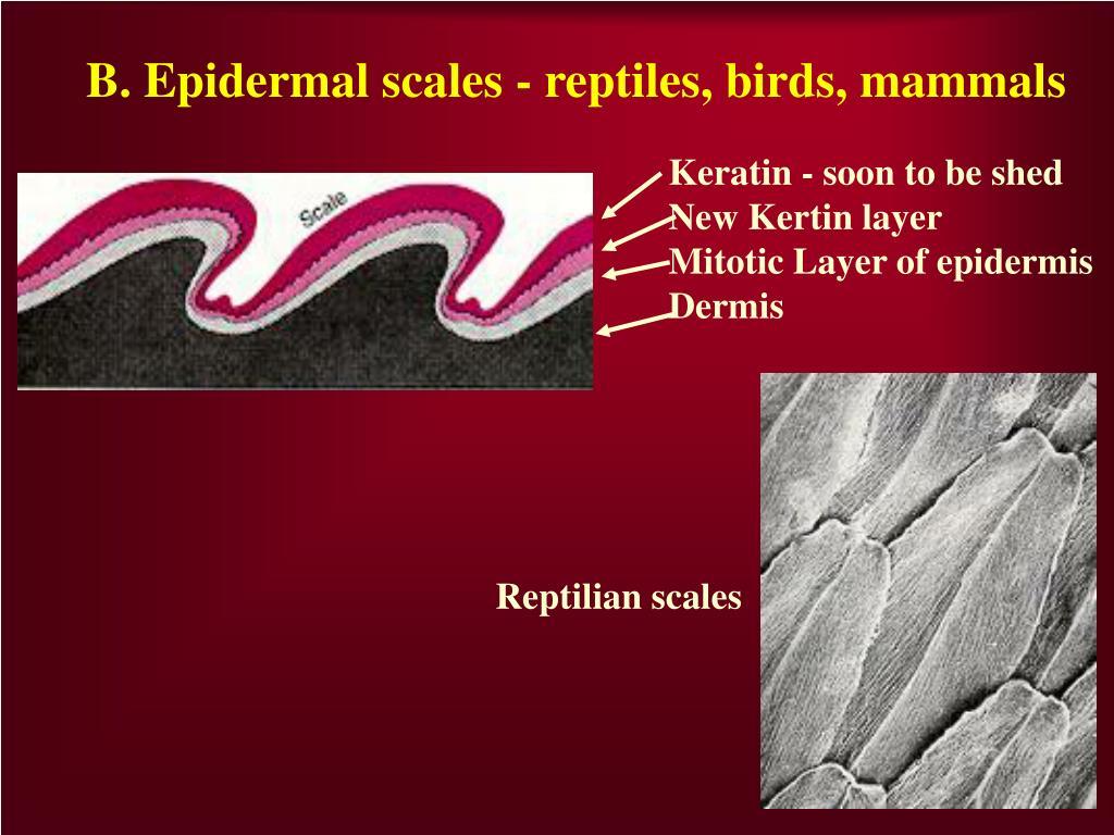 B. Epidermal scales - reptiles, birds, mammals