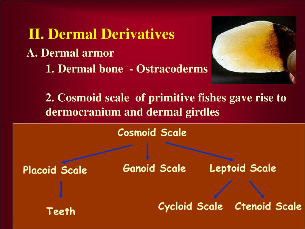 Leptoid Scale