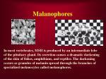 malanophores