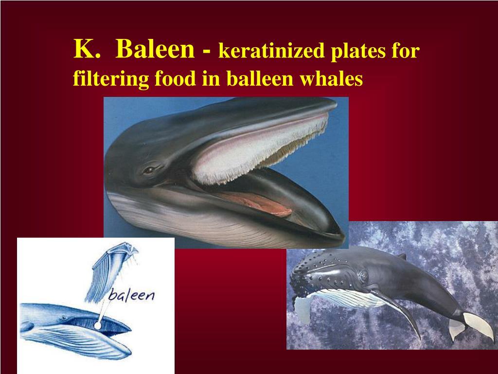 K.  Baleen -