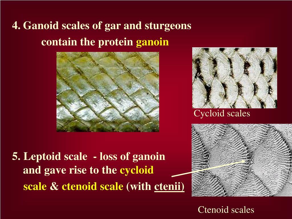 4.Ganoid scales of gar and sturgeons