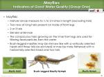 mayflies indicators of good water quality group one