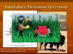 intercalary meristems in grasses