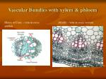 vascular bundles with xylem phloem