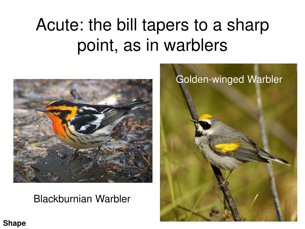 Acute: the bill tapers to a sharp point, as in warblers