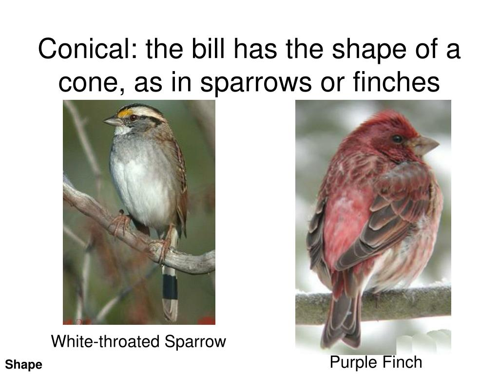 Conical: the bill has the shape of a cone, as in sparrows or finches