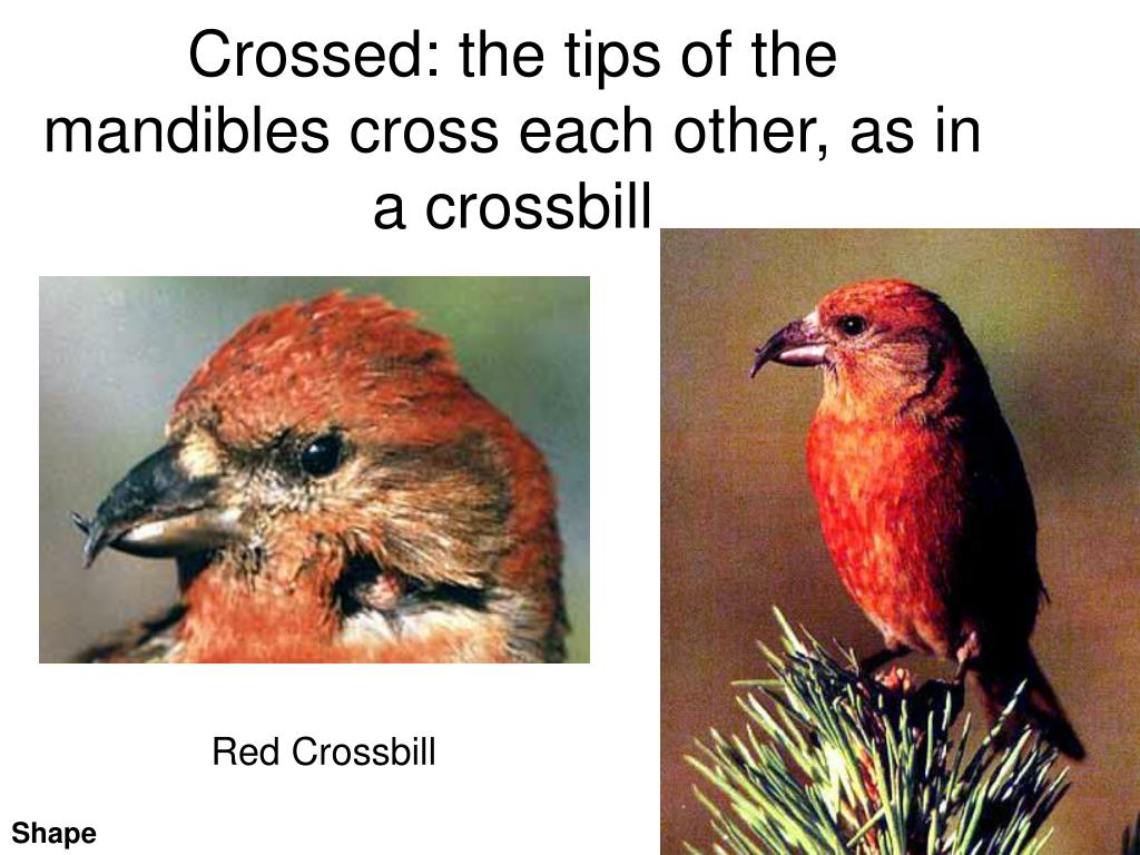 Crossed: the tips of the mandibles cross each other, as in a crossbill