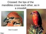 crossed the tips of the mandibles cross each other as in a crossbill