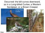 decurved the bill curves downward as in a long billed curlew a western sandpiper or a brown creeper