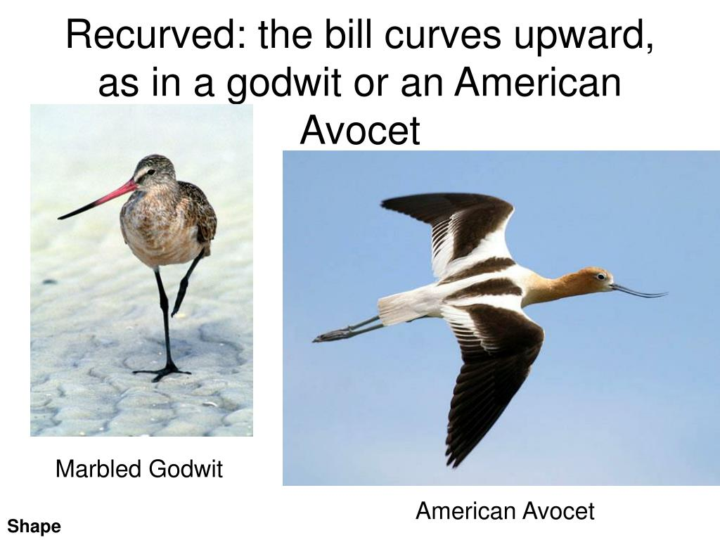 Recurved: the bill curves upward,