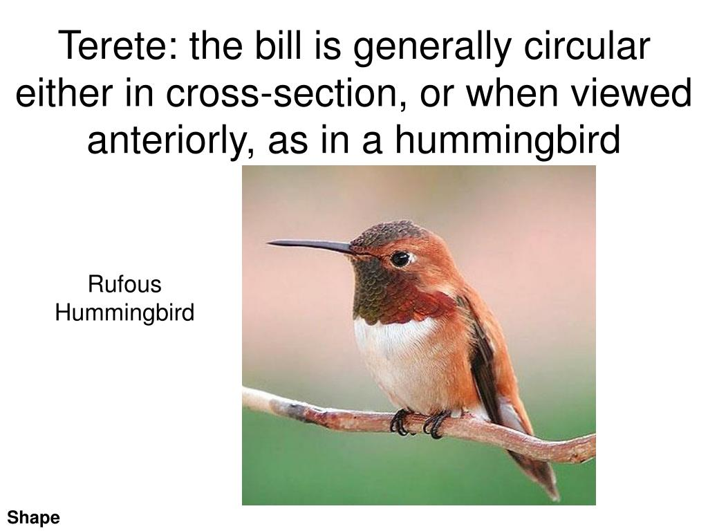 Terete: the bill is generally circular either in cross-section, or when viewed anteriorly, as in a hummingbird