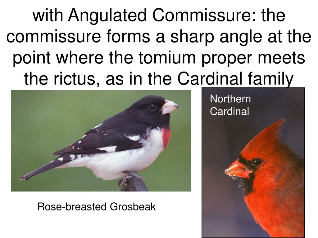 with Angulated Commissure: the commissure forms a sharp angle at the point where the tomium proper meets the rictus, as in the Cardinal family