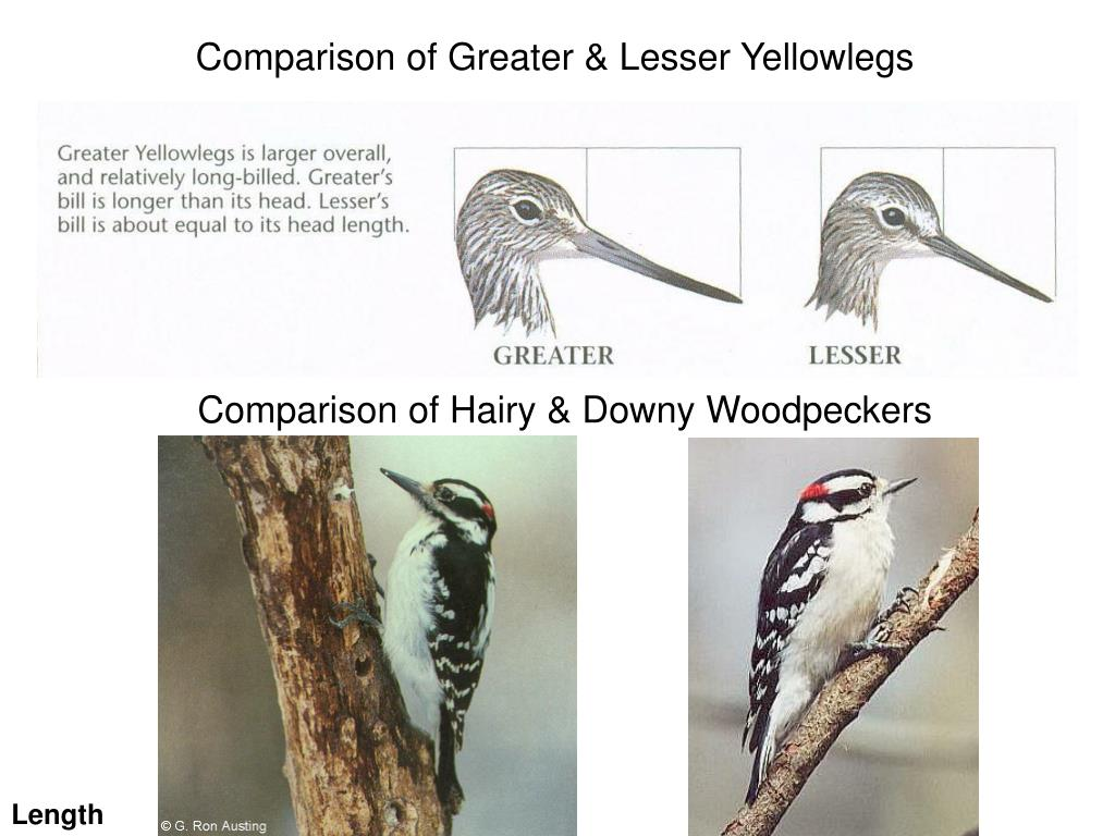 Comparison of Greater & Lesser Yellowlegs