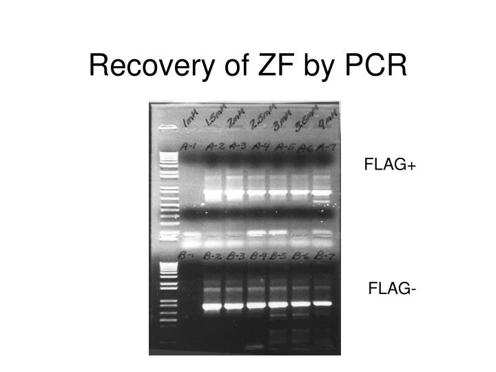 recovery of zf by pcr n.