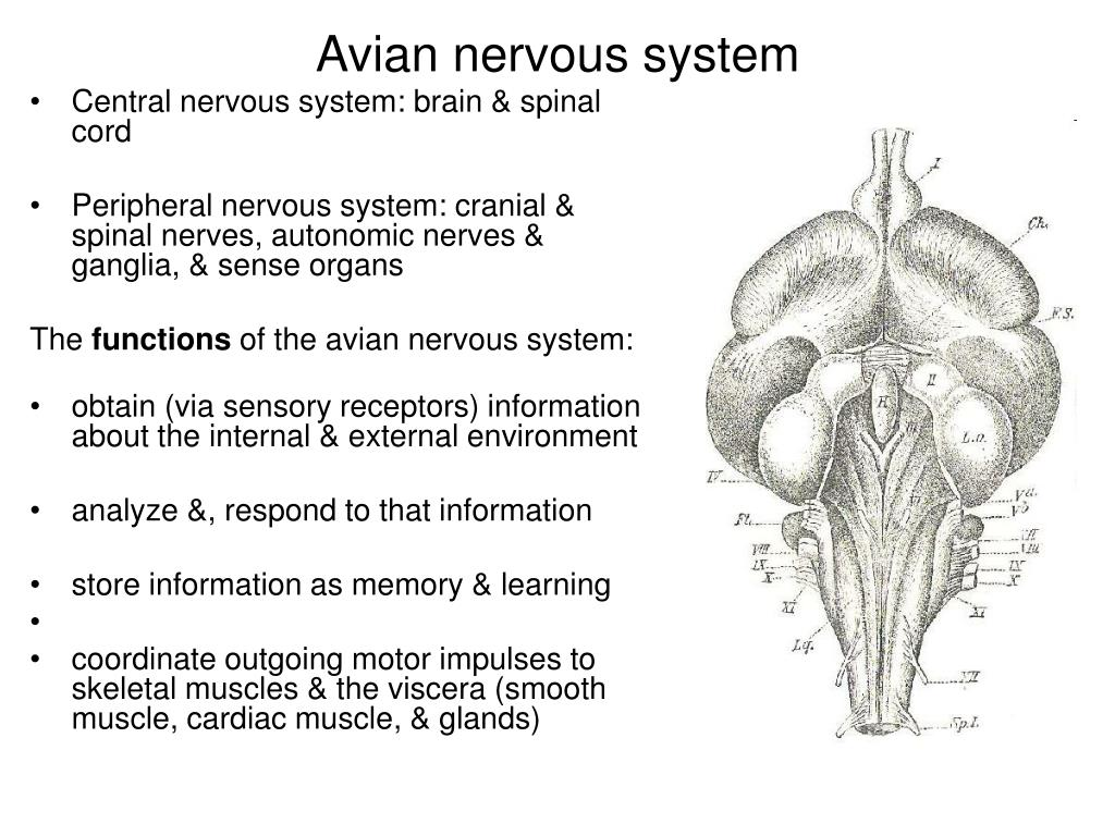 Central nervous system: brain & spinal cord