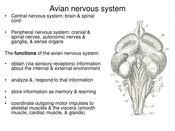 Avian nervous system