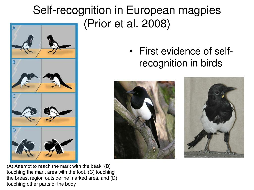 First evidence of self-recognition in birds