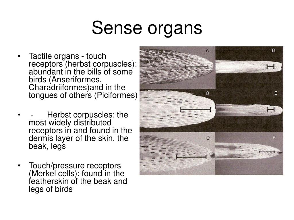 Tactile organs - touch receptors (herbst corpuscles): abundant in the bills of some birds (Anseriformes, Charadriiformes)and in the tongues of others (Piciformes)