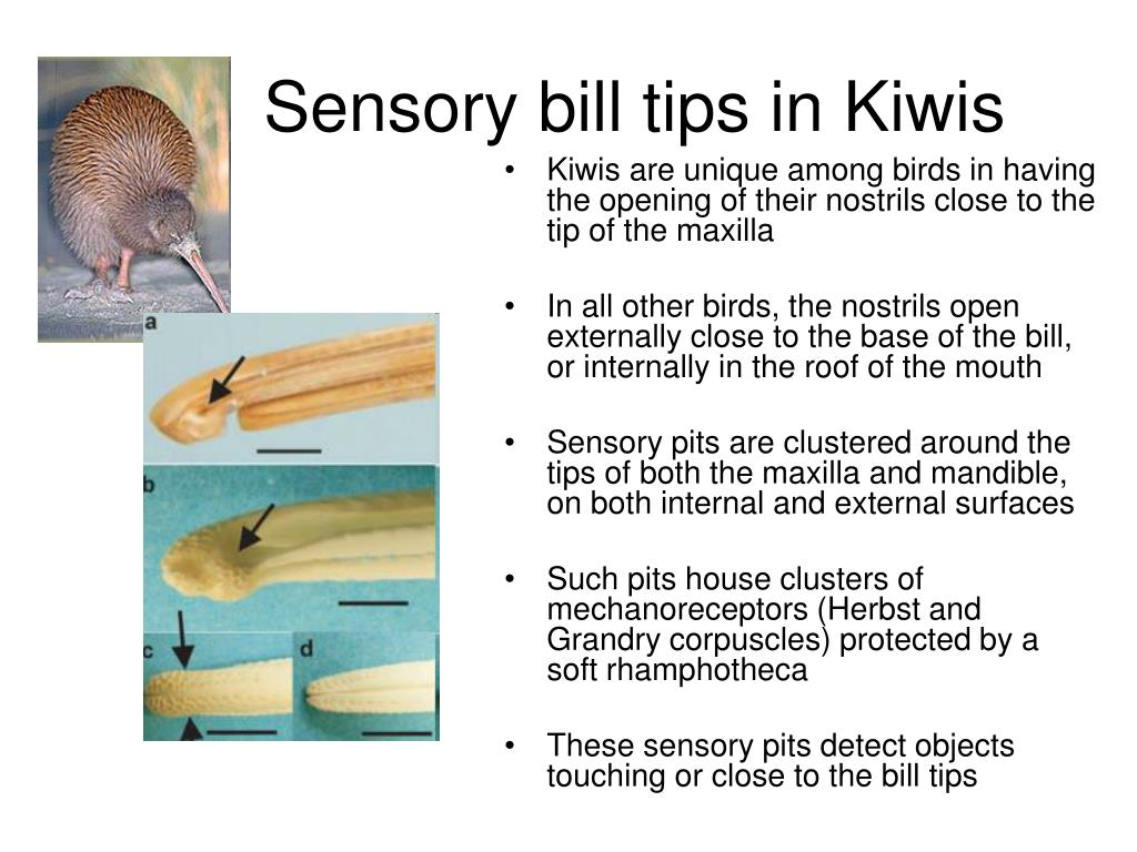 Kiwis are unique among birds in having the opening of their nostrils close to the tip of the maxilla