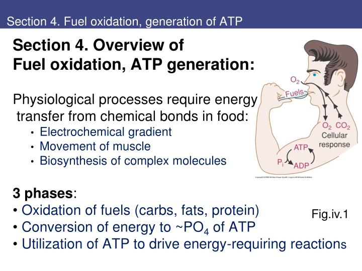 section 4 fuel oxidation generation of atp n.