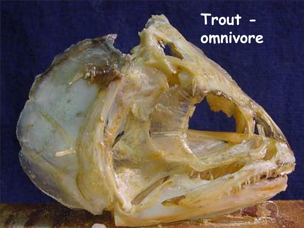 Trout - omnivore