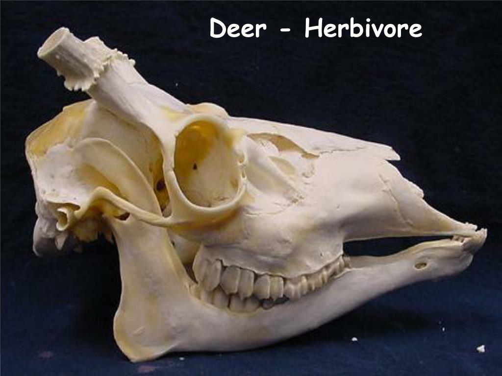 Deer - Herbivore